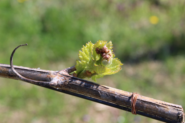 Chardonnay bud break at Linden.
